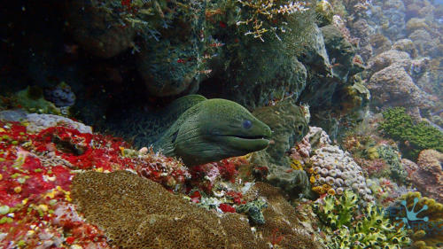 Moray eel in Komodo