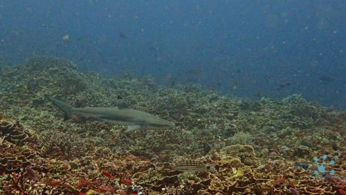 Shark in Komodo national park